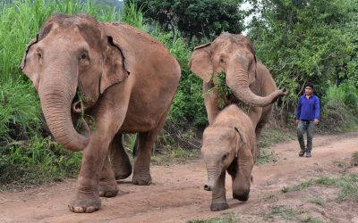 Visiting an ethical elephant sanctuary in Chiang Mai – Our family experience